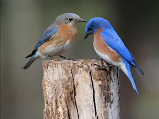 Male and female bluebird sit on a fence post. The Aldo Leopold Audubon Society Bluebird Trail has grown into the largest bluebird trail in North America.