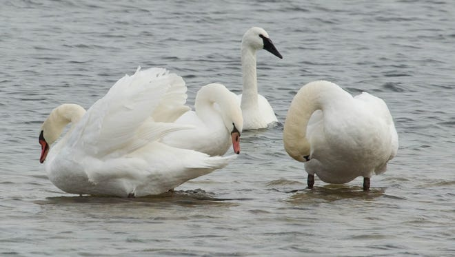 A tundra swan (with black bill) keeps company with non-native mute swans in Door County.