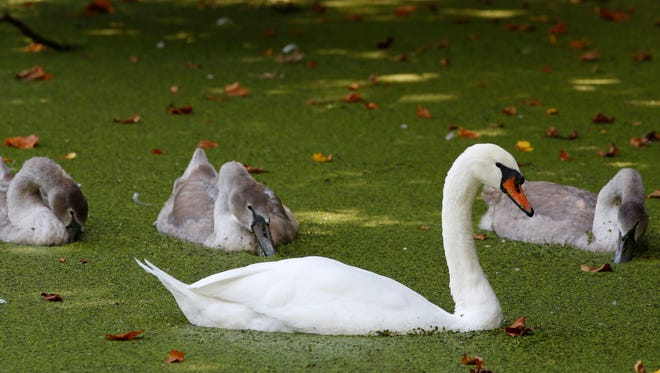 In this Sept. 14, 2017 photo, an adult mute swan, foreground, and several juvenile swans swim in the duckweed-covered Lullwater in Brooklyn's Prospect Park in New York. The graceful mute swan is targeted for destruction by wildlife managers in New York and other states. Biologists cite the non-native species' damage to aquatic habitat and native waterfowl. But animal welfare groups and people who love to watch the snow-white birds glide across local waters are fighting plans to reduce the population.