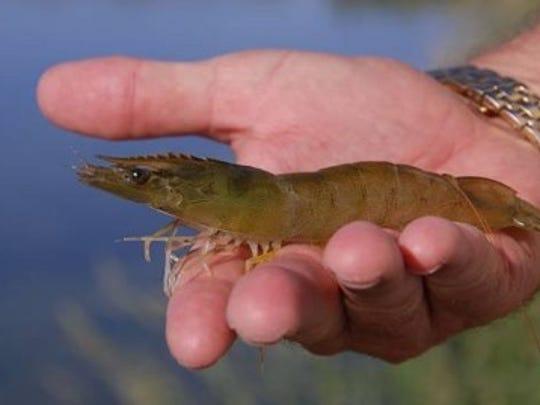 A shrimp raised at Desert Sweet Shrimp in Gila Bend.