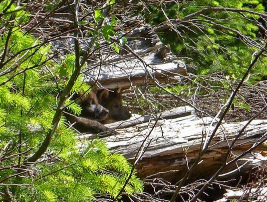pups-in-log_stephenson_usfws.jpg