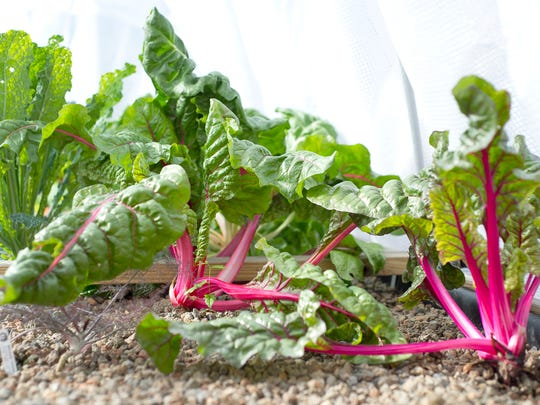 Colorful Swiss chard can be transplanted into the garden now for harvest through winter. Photo by