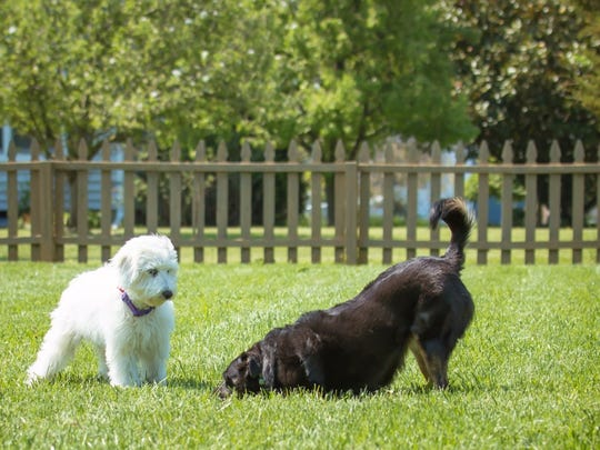 Labradoodle pup Ellie, who is 7 months old, and Nikki, a border collie mix, play in a healthy way, with happy faces and relaxed bodies. Nikki is bowing to Ellie, a sign that she wants to play.