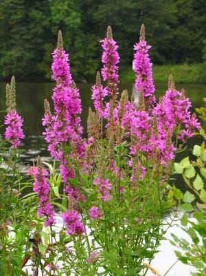 Purple loosestrife is an invasive plant growing along shorelines, ditches and wetlands.