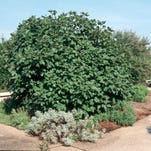 A mature fig tree is beautiful in the landscape.