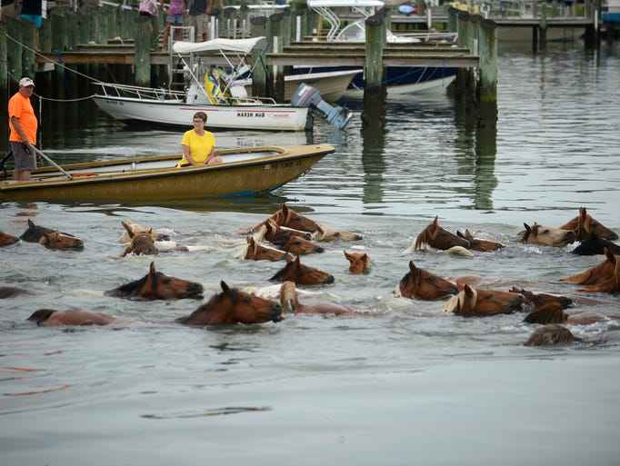 The southern herd of Chincoteague Ponies make their annual swim back to Assateague Island, Va. on Friday, Aug. 1, 2014.