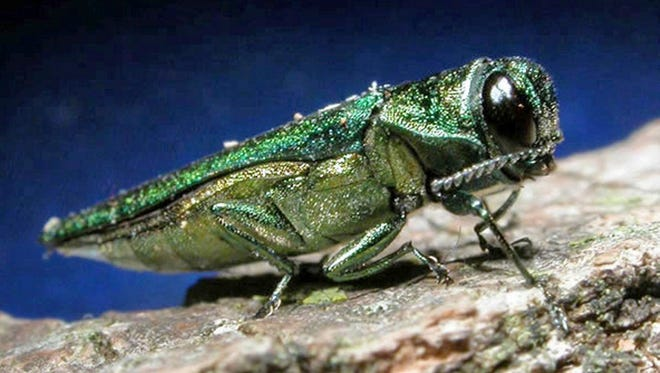 This undated file photo provided by the Minnesota Department of Natural Resources shows an adult emerald ash borer. The invasive beetle is native to Asia.