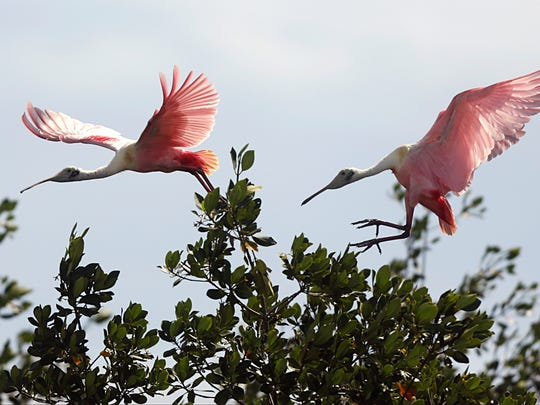 In a Tuesday March 14, 2017 photo, a 3-month-old roseate spoonbill takes to the skies over Florida Bay as another lands near its nesting area of South Nest Key. Audubon Florida Everglade science researcher Dr. Jerry Lorenz, is studying how wading birds like spoonbills population reflects the health of Florida Bay.  (Carl Juste/Miami Herald via AP)