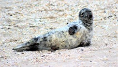 This is the seal that came ashore April 7 in Point