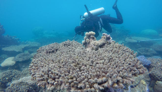 A researcher from the ARC Centre of Excellence for Coral Reef Studies surveys the bleached and dead corals at Zenith Reef off the coast of Australia in November 2016.