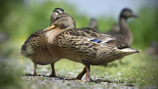 Mallards walk on a section of grass and gravel Wednesday near the Mississippi River in St. Cloud. Last year's mallard estimate was 257,000 breeding birds — putting this year's number 17 percent below the recent 10-year average but 10 percent above the average since counts began in 1968.