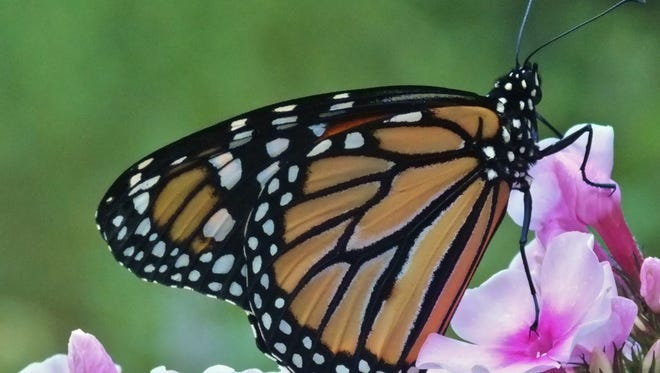 """""""The Magical Mysterious Monarch"""" is scheduled for Thursday, Aug.24, at Leonard J. Buck Garden in Far Hills."""