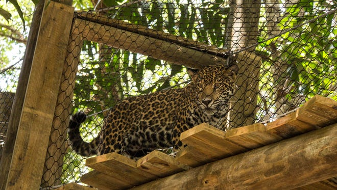 A new expansion for the Brevard Zoo's jaguar exhibit has opened.