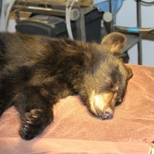 A black bear cubs found refuge at the Southwest Wildlife Conservation Center after a concerned Payson resident found the bear injured on the side of the road.