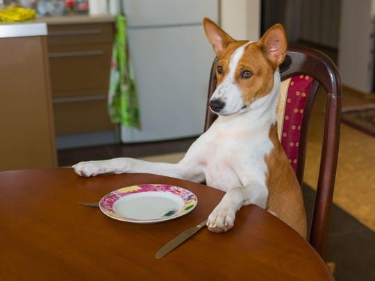 Cute Basenji dog sitting at the table