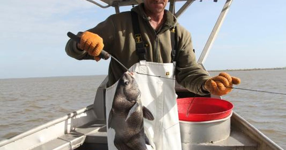 Black drum a humble fish now a prized catch for Black drum fishing