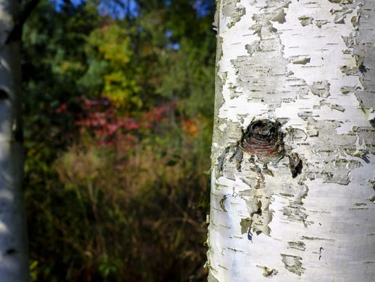 Shrubs contrast with the white bark of a birch tree