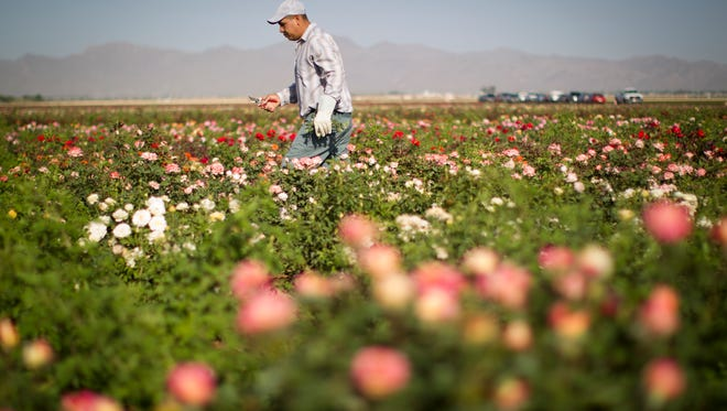 Farm workers pull weeds from a field of roses at the Woolf Leyton Farms. They grow around 300 varieties of roses and ship them all over the country to be sold as rose bushes in garden shops.