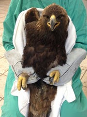 A golden eagle being treated for lead poisoning that later died, is held by veterinary technician Pam Kangas on March 8, 2013 at the Roseville Bird and Pet Clinic in Roseville, Calif.