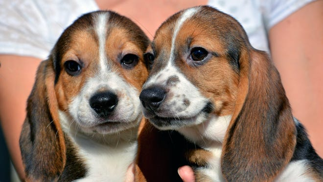 Seven-week-old puppies born by in vitro fertilization at the Baker Institute for Animal Health in Ithaca, N.Y.