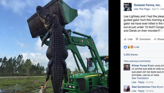 An 800-pound alligator was harvested at Outwest Farms, Inc. in Venus, Fla.