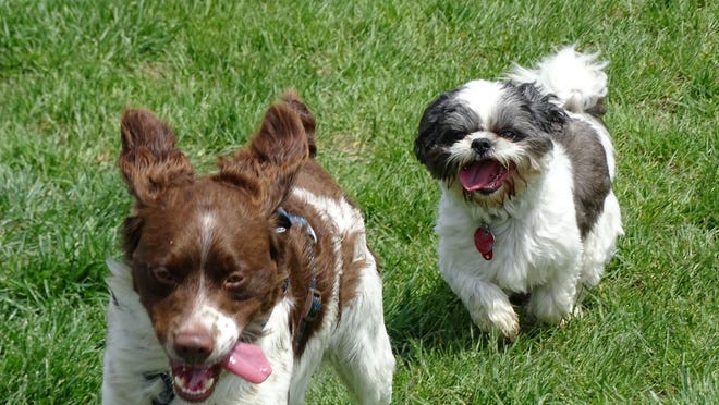 Hank, left, a Brittany dog, and Brutus play at Marblehead's Bark Until Dark off-leash dog park. The park was the site of the second Humane Society of Ottawa County dog show early Sunday, with all proceeds from the show going to the agency.