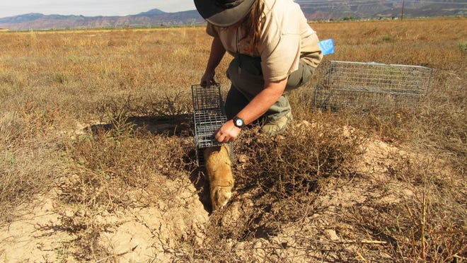 Utah prairie dogs being trapped and relocated onto federal lands north and west of Cedar City.
