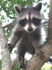 A raccoon climbs through a tree.