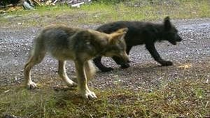 These two pups are part of the Rogue pack, and are believed to be OR-7's third litter.
