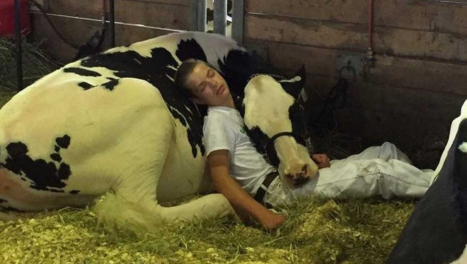 Mitchell Miner, 15, of Williamsburg, sleeps on his heifer, Audri, following their showing at the Iowa State Fair's youth dairy cattle show on Saturday, Aug. 12, 2017.