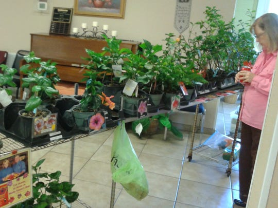The annual Hibiscus Show & Plant Sale in Fort Myers  is the one place you will see hibiscus you can't see anywhere else.