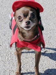 In this Times Record News file photo, a Chihuahua firefighter rocks a past Atwoods pet costume contest. Halloween can be a scary time of year for your pet. Be aware of the dangers.