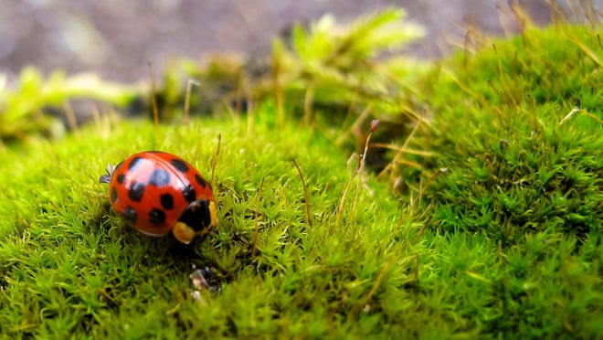Predatory insects such as ladybugs munch on aphids in your garden.