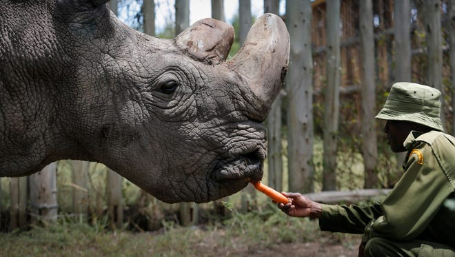 Forty three-year-old Sudan, the last surviving male northern white rhino on the planet, is fed by a caretaker at Ol Pejeta Conservancy near Nanyuki, some 200 kilometers north of Nairobi, Kenya, May 3, 2017.