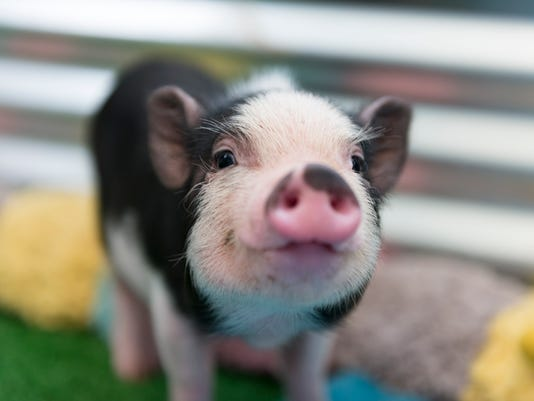 Pet pigs are OK, says Holland, Michigan