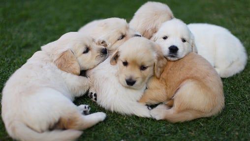 puppy siblings lying on lawn