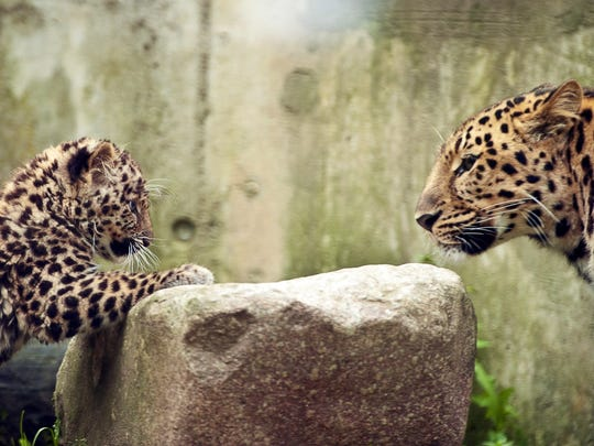 A 3-month-old Amur leopard is pictured with its mother