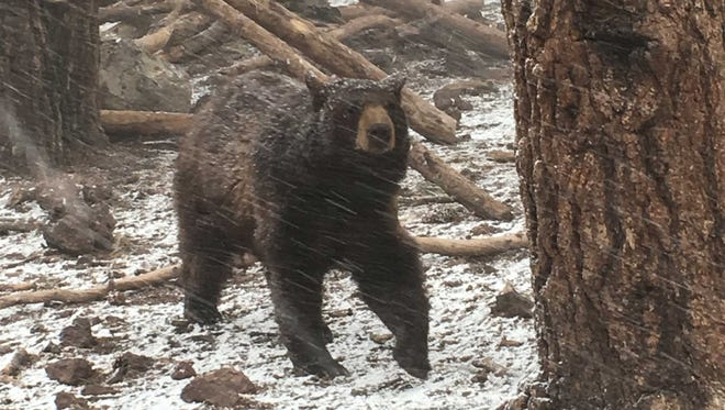 A bear at Bearizona Wildlife Park west of Flagstaff runs during a snow storm Monday, April 25, 2016.