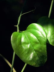 Smilax rotundifolia is common in the woodlands of north
