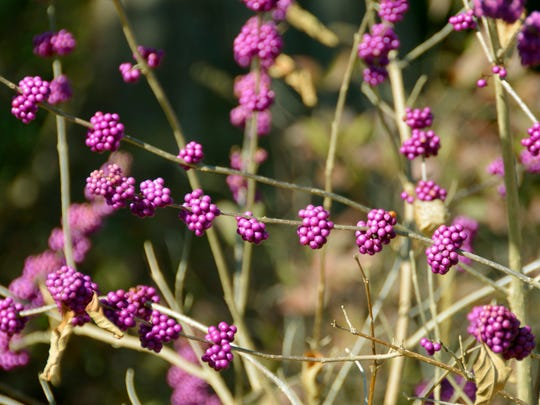 American beautyberry earns its name with its eye-catching