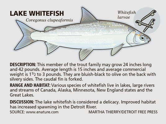 DFP Fishing worries whitefish creature feature PRESTO