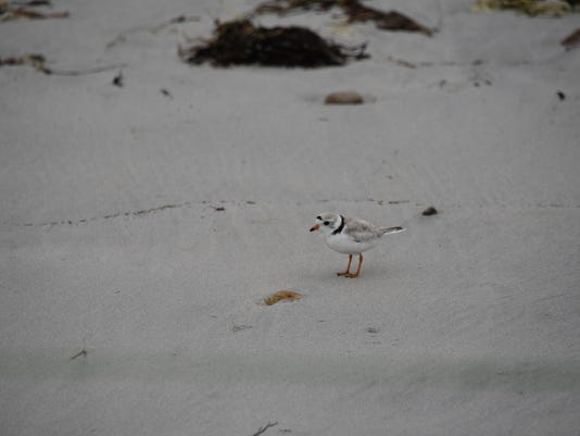 piping plover (2)