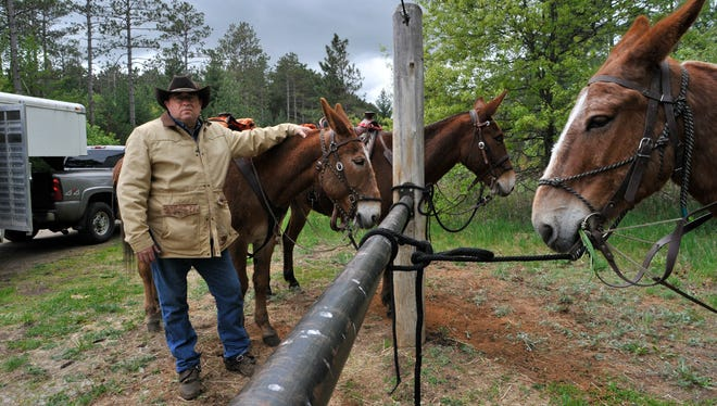 Ron Denn of Monticello prepares to take mules, from left, Alice, Jim and Roy on a short trail ride Friday, May 13, in Sand Dunes State Forest. Denn was an outfitter, packer and hunting guide in Montana for nine years before he returned to take over the family farm. He's president of the Minnesota Donkey and Mule Club.