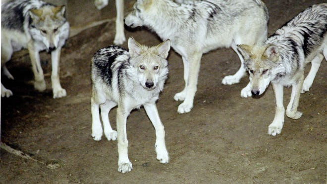 Eight Mexican gray wolf pups are shown at Binder Park Zoo in Battle Creek in 2002.
