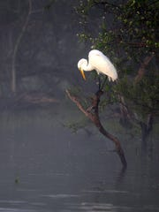 A great egret strikes a pose in the morning fog at