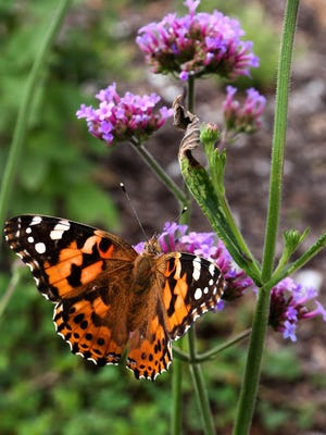 A Painted Lady butterfly lands on a flower at the pollinator garden at the Kansas State Fair.