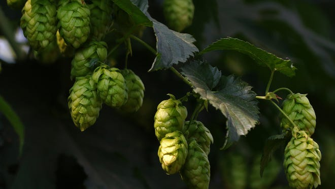 The Washington state hop crop has set records this year.