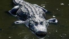 Alligator in the Florida Everglades.