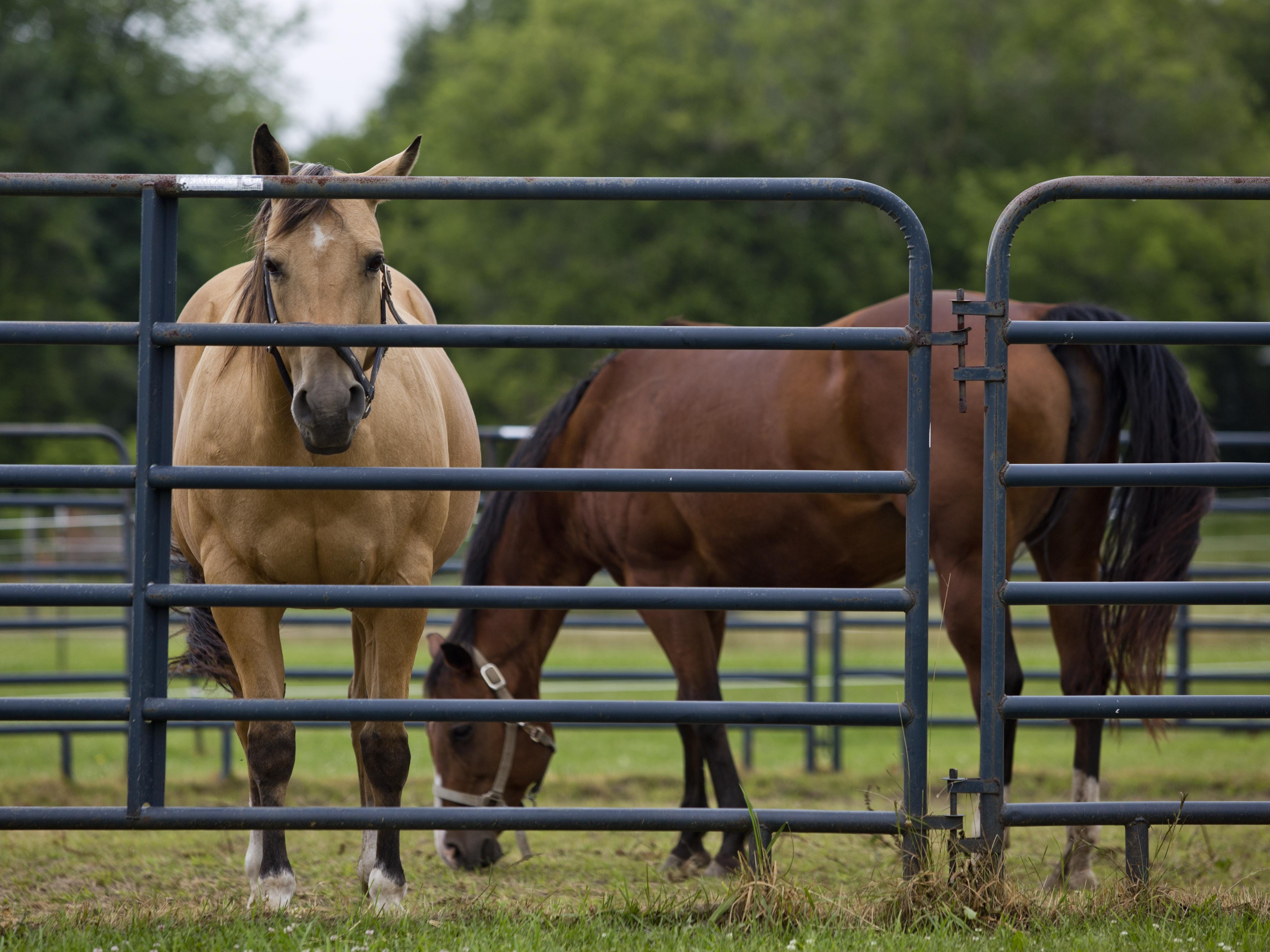 Horses graze in a field Wednesday, July 1, 2015 at Marine City girls track coach Kristen Humble's home and ranch in Clyde Township.