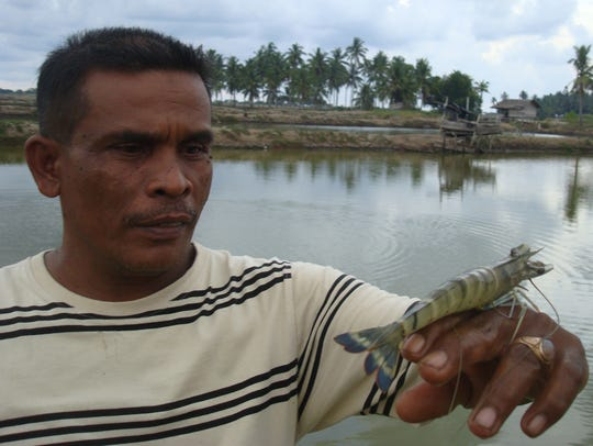 A farmer in Banda Aceh, Indonesia holding a tiger prawn